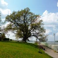 Дъбът в Дунавския парк в Силистра