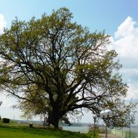 ToY_2015_Oak_Silistra